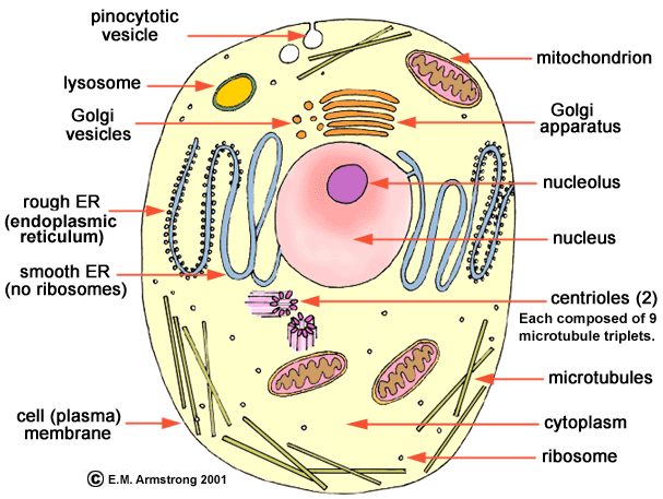 basic cell knowledge cells pathogens rh cellsandpathogenstudyplasmodium and malaria e basic cell cycle diagram basic animal cell diagram with labels